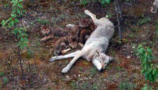 Wolf suckling pups