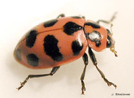 Twelvespotted_lady_beetle