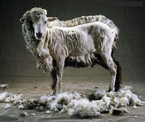 Half-shorn-sheep