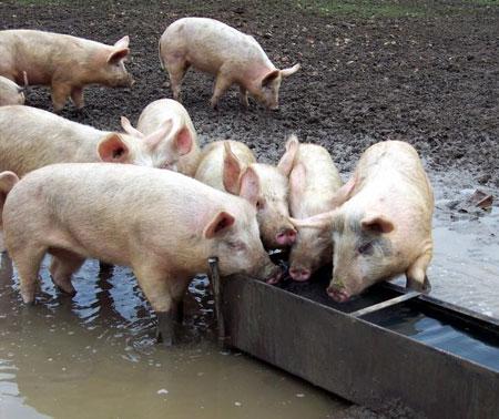 Pig_trough